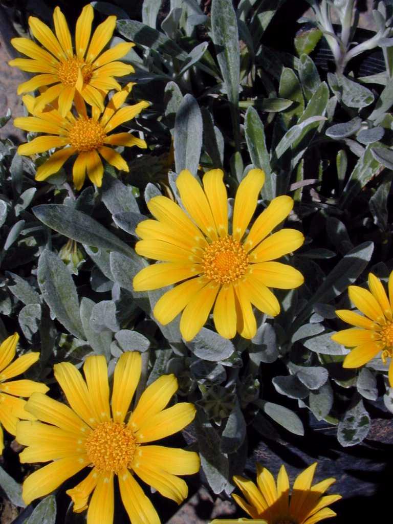 Yellow Perennial Flowers Ground Cover: Gazania 'Sun Gold' (Gazania Rigens Cv. 'Sun Gold