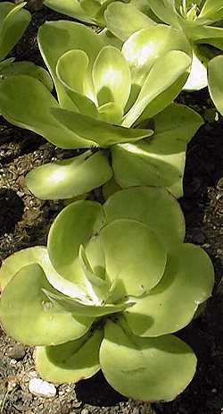 Echeveria Pallida