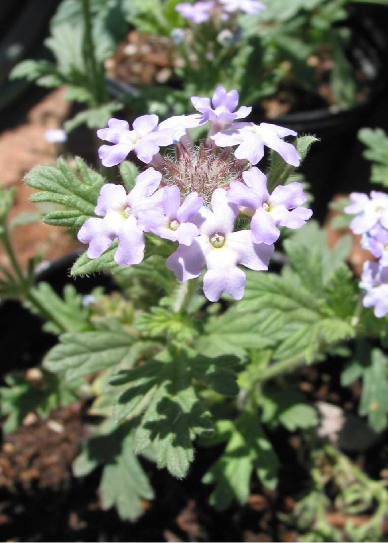 Blooming Ground Cover Full Sun: Gooding Verbena (Glandularia Gooddingii
